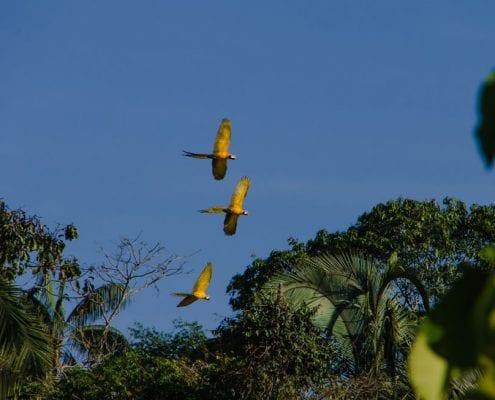 Aras fliegen Dschungel Peru
