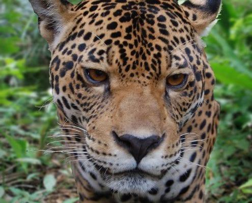 Jaguar 2 Dschungel Peru