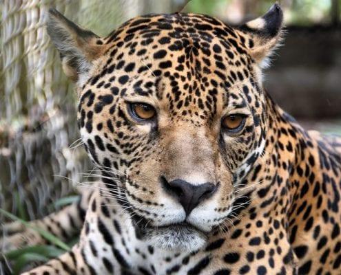 Jaguar Dschungel Peru