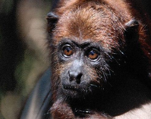 Affe Dschungel
